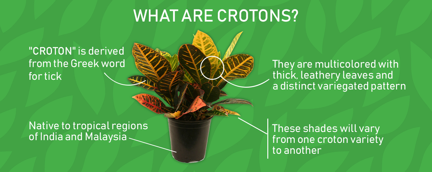 Graphic Showing Croton with Informative Facts