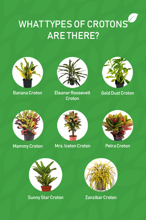 Graphic Showing Different Types of Croton Plants