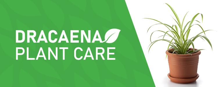 Dracaena Plant Care