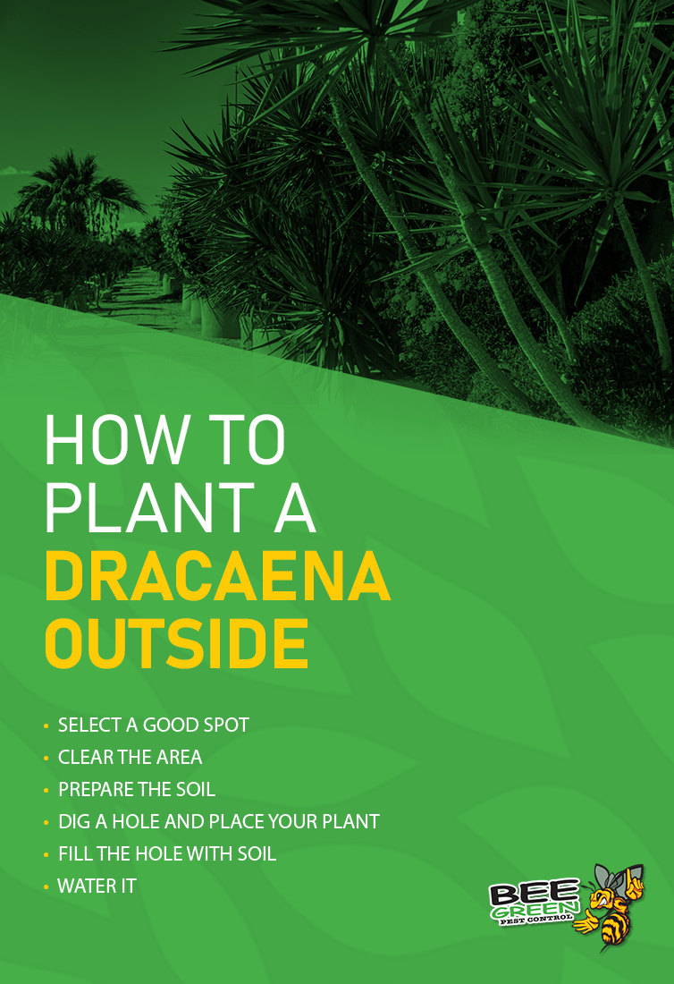 How to Plant a Dracaena Outside