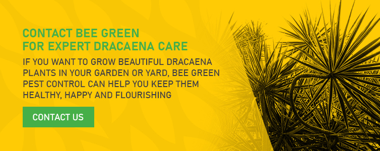 Contact Bee Green for Expert Dracaena Care
